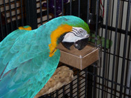 Blue and Gold Macaw digging in to a chipboard box in the Large Horizontal CFS Dispenser