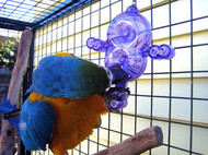 Blue and Gold Macaw with the Crazy 8 foraging toy