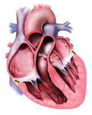Normal Heart in Cross Section and Pulmonary Outflow Tract