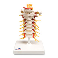 CERVICAL SECTION OF SPINE MODEL