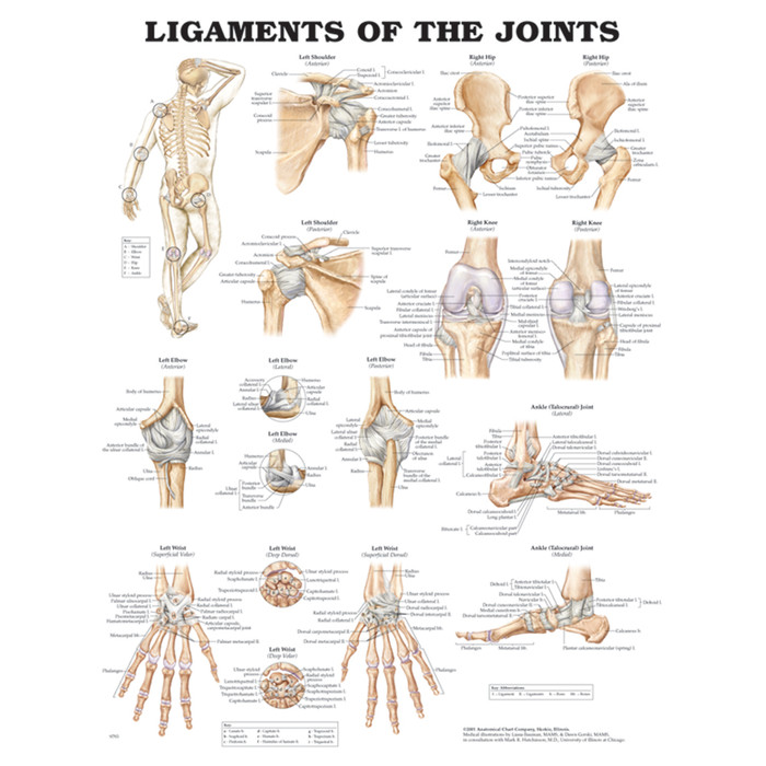 """LIGAMENTS OF THE JOINTS ANATOMICAL CHART 20"""" X 26"""", STYRENE PLASTIC"""