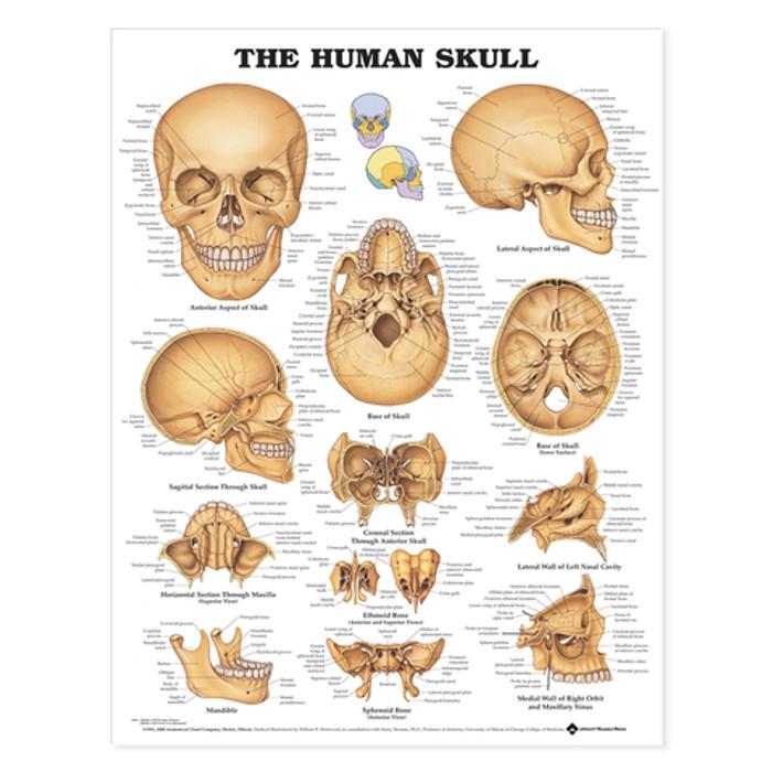 THE HUMAN SKULL CHART PSTR SZ LT LAMINATED