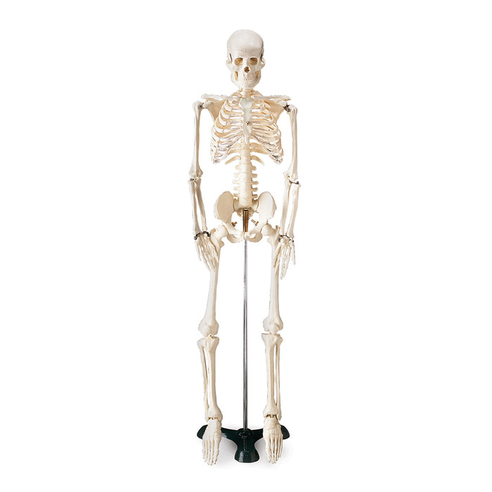 "FLEXIBLE MR. THRIFTY SKELETON WITH SPINAL NERVES, 33 1/2"" TALL"