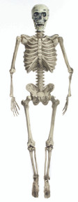 "Skeleton Prop with LED Eyes 60"" Posable and Realistic"