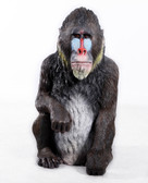 Mandrill Sculpture Statue 3ft
