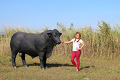 Angus Bull Life Size Statue Black
