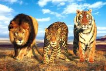 Wild Cats Photo Art Print Poster 36x24