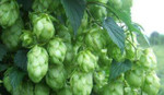 Liberty Hop Rhizome