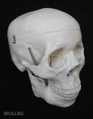 Skull Model (Premium)