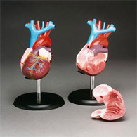 Heart Model, Life Size, Basic