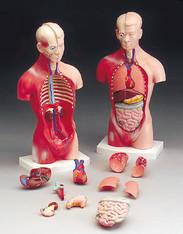 "Human Torso Model, Male 10 """