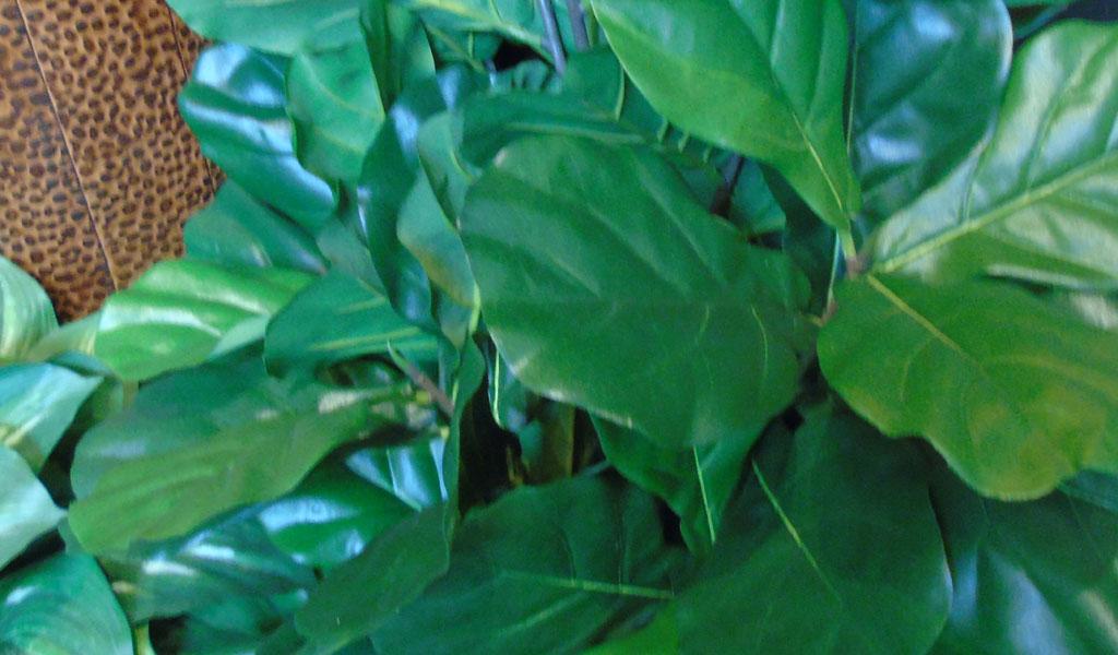 Fiddle Leaf