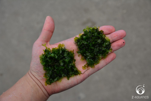 how to grow freshwater seaweed