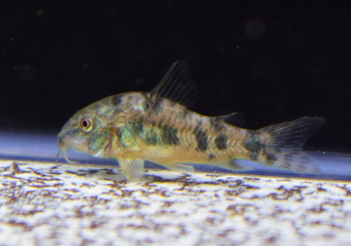 Peppered Cory (5 pack)