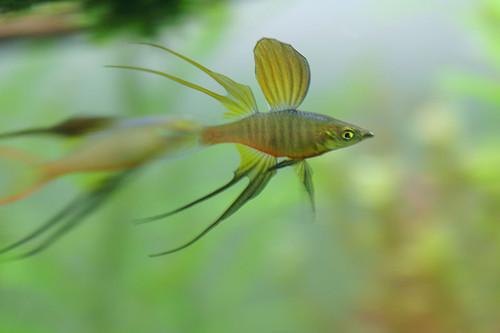 5 Threadfin Rainbow