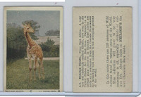 V67 Neilson's Chocolate, Wild Animals, 1930's, #A2 Blotched Giraffe