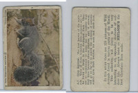 V67 Neilson's Chocolate, Wild Animals, 1930's, #A7 Gray Squirrel