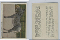V67 Neilson's Chocolate, Wild Animals, 1930's, #A9 Grevy Zebra