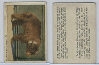 V67 Neilson's Chocolate, Wild Animals, 1930's, #A14 Great Yezzo Bear