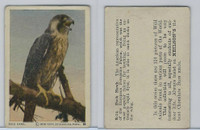 V67 Neilson's Chocolate, Wild Animals, 1930's, #B14 Duck Hawk