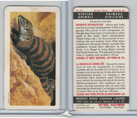FC34-7 Brook Bond, African Animals, 1964, #20 Banded Mongoose