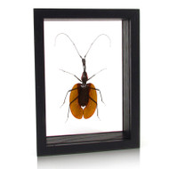 Violin Beetle - Mormolyce phyllodes