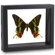 Sunset Moth - Urania ripheus - Topside