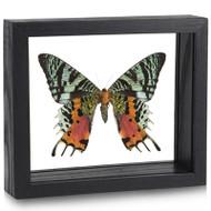 Sunset Moth - Urania ripheus - Underside