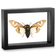 Cicada -Tosena splendida