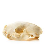 Skunk Skull
