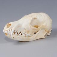 Fox Skull