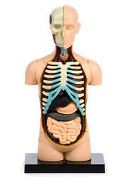 Anatomical Snap-Together Kit, Torso, Original