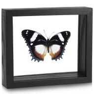 Tricolor Diadem Butterfly - Hypolimnas dexithea