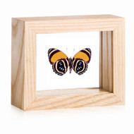 Aegina Number-wing Butterfly - Callicore lyca aegina - Underside