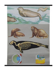 Common Seal Zoology Poster