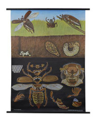 Cockchafer Zoology Poster