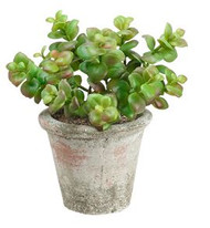 JADE PLANT IN CLAY POT 8""