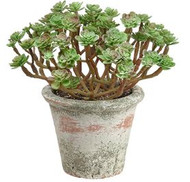 "SEDUM IN CLAY POT 7.5"" GR/BU"