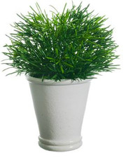 "PODOCARPUS 10"" IN WHITE POT GREEN"