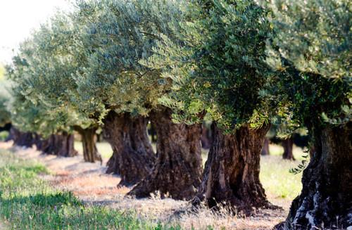 Arbosana Olive Oil