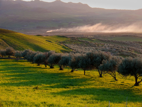 Koroneiki Greek Olive Oil