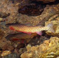 """Trout Duo"" Photograph by Colorado photographer James Frank. This photograph shows a greenback cutthroat trout pair swiming in an outlet to Fern Lake, Rocky Mountaion National Park, Colorado, USA."