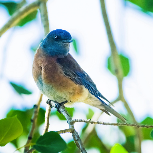 """""""Bluebird Blush"""" Photography by Colorado photographer James Frank. """"There are two kinds of bluebirds which frequent and nest in and around Rocky Mountain National Park. The Mountain Bluebird and the Western Bluebird featured here. Bluebirds are primarily insect-eaters and are fun to watch while hunting. They are cavity nesters, building homes in natural holes in trees or artificial nest boxes."""""""