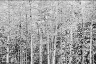 """Aspen Trees in Snow in Black & White"" Photograph by Colorado photographer James Frank. This photograph was taken in Horseshoe Park near Rocky Mountain National Park, Colorado, USA."