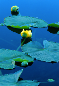 """Lilies of the Lake - Nymph Lake"" Photograph by Colorado photographer James Frank."