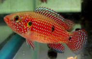 Red Lifalili Jewel Cichlid