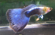 Neon Blue Male Guppy