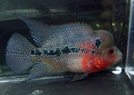 Red Dragon Flowerhorn Cichlid