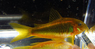 Orange Laser Cory Catfish