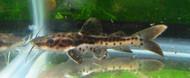 Shovlenose / Redtail Hybrid Catfish